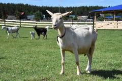 козы на улице